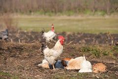 Gallo cerca de las gallinas que tienen un baño del polvo en la granja en un día caliente imágenes de archivo libres de regalías