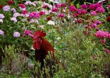 Gallo che pasce sul giardino Fotografie Stock Libere da Diritti