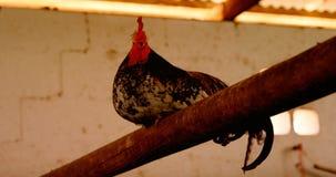 Gallo che si siede sulla barretta 4k archivi video