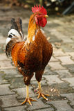 Gallo colorato luminoso fotografie stock libere da diritti