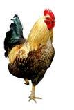 Gallo a colori Fotografia Stock Libera da Diritti