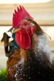 Gallo colorido Fotos de archivo