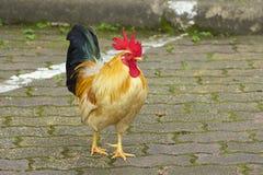 Gallo colorido imagen de archivo