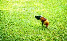 Gallo colorido con natural Fotografía de archivo libre de regalías