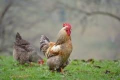 Gallo colorido en campo en primavera Fotos de archivo