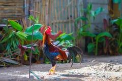 Gallo colorido en yarda soleada del pueblo Plumas hermosas del gallo Fotografía de archivo libre de regalías