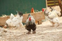 Gallo con el grupo de gallinas Fotografía de archivo libre de regalías