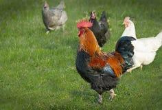 Gallo con el pollo imagenes de archivo