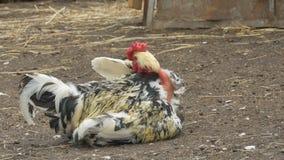 Gallo con il collo calvo archivi video