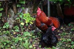 Gallo con il pollo Immagini Stock