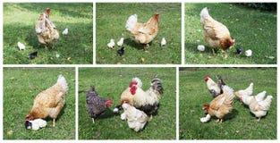 Gallo con la gallina e l'uccellino implume Fotografia Stock Libera da Diritti