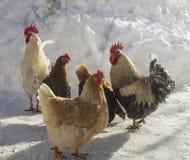 Gallo con la gallina sull'azienda agricola nell'inverno fotografia stock libera da diritti