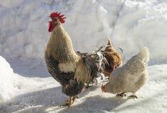 Gallo con la gallina sull'azienda agricola nell'inverno fotografia stock