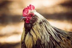 Gallo con le piume bianche intorno alla testa ed all'ente marrone fotografie stock