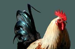 Gallo con una cola Fotografía de archivo libre de regalías