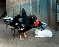Gallo contro i gatti Fotografia Stock Libera da Diritti