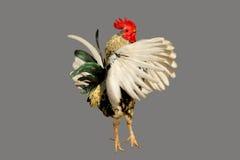 Gallo cortado Imagenes de archivo