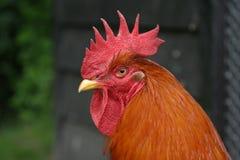 Gallo davanti al pollaio Immagine Stock Libera da Diritti