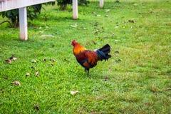 Gallo de Brown que camina en el césped de la granja del café en la isla de Oahu fotos de archivo