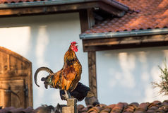 Gallo de cacareo imagen de archivo libre de regalías