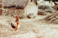 Gallo de granja Fotos de archivo libres de regalías