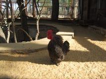 Gallo de griterío Foto de archivo
