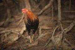 Gallo de Kauai Imágenes de archivo libres de regalías