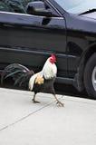 Gallo de la ciudad Imagen de archivo libre de regalías