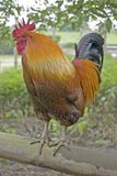 Marsh Daisy Rooster foto de archivo