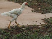 Gallo de lucha blanco Fotografía de archivo