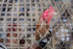 Gallo de lucha en la jaula Fotografía de archivo