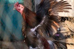 Gallo de lucha en la jaula Imagen de archivo
