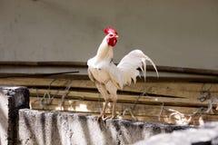 Gallo de lucha, Nusa Penida, Indonesia Imágenes de archivo libres de regalías
