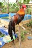Gallo de Onagadori Imagen de archivo libre de regalías