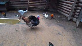 Gallo de pavo colorido del granjero con la cabeza roja detrás de la cerca de la granja La yarda del ` s del pájaro del pueblo almacen de video