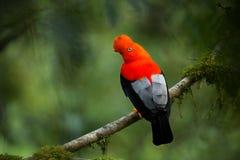 Gallo-de--roca andina en el hábitat hermoso de la naturaleza fotos de archivo libres de regalías