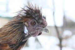 Gallo de seda marrón principal Mire la cámara Fotografía de archivo libre de regalías