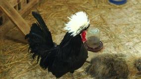 Gallo decorativo negro con un penacho blanco mullido en una jaula, primer metrajes