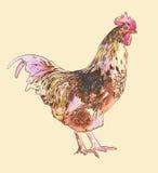 Gallo del bosquejo de la pintura de la acuarela Foto de archivo