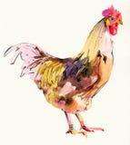 Gallo del bosquejo de la pintura de la acuarela Fotografía de archivo