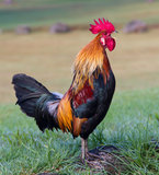 Gallo del canto Imagen de archivo libre de regalías