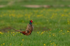 Gallo del faisán en la exhibición del cortejo, primavera Fotografía de archivo