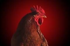 Gallo del fuoco su rosso Simbolo del nuovo anno 2017 Fotografie Stock Libere da Diritti