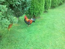 Gallo del gallo Immagine Stock Libera da Diritti