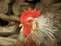 Gallo del gallo del martillo Imagen de archivo