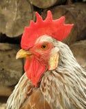 Gallo del gallo del martillo Fotografía de archivo libre de regalías