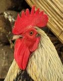 Gallo del gallo del martillo Fotos de archivo