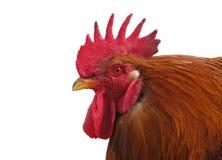 Gallo del gallo del martillo Imagenes de archivo