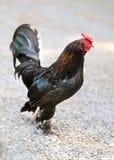 Gallo del gallo negro de la foto Fotografía de archivo libre de regalías