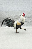 Gallo della città! Fotografia Stock Libera da Diritti